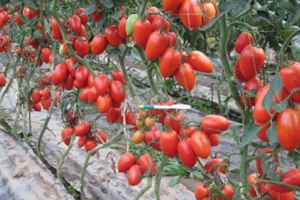 Гибрид индетерминантного типа для защищенного грунта: помидоры «паленка»