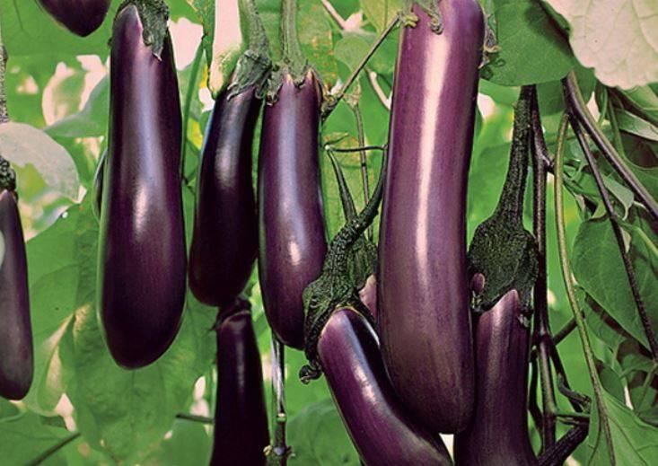 Баклажан универсал 6: характеристика и описание сорта, урожайность с фото