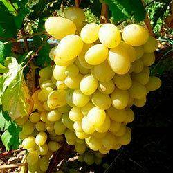 Сорта винограда «ландыш»