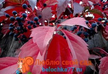 Девичий виноград: посадка и уход, размножение и сорта, использование в ландшафтном дизайне
