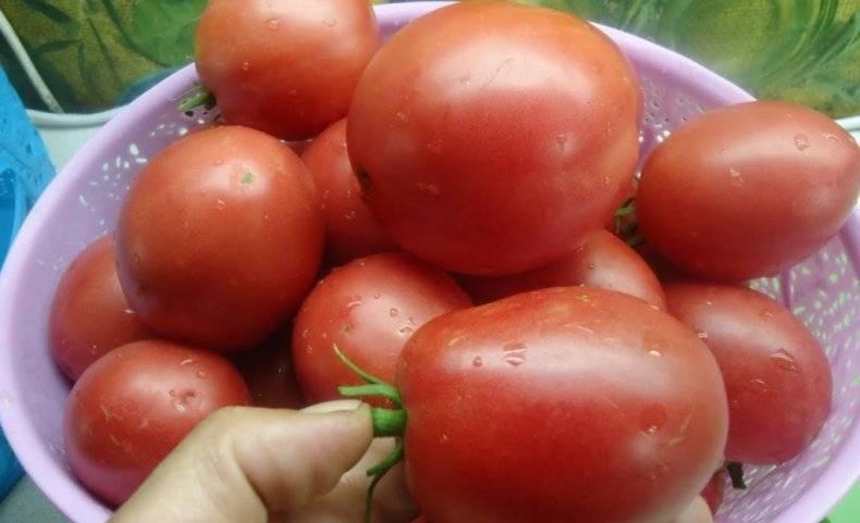 Томат настенька: отзывы, характеристика и описание сорта, урожайность