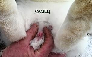 Как определить пол кролика в 1 месяц