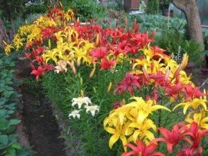 Виды и сорта лилий (90 фото): красные, желтые и голубые, дикие и садовые разновидности, вьющиеся и тюльпановидные, шаровидные и лонгифлорум