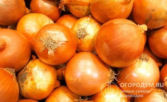 Лук стурон – описание сорта, посадка, уход, фото и отзывы – 4 сезона огородника