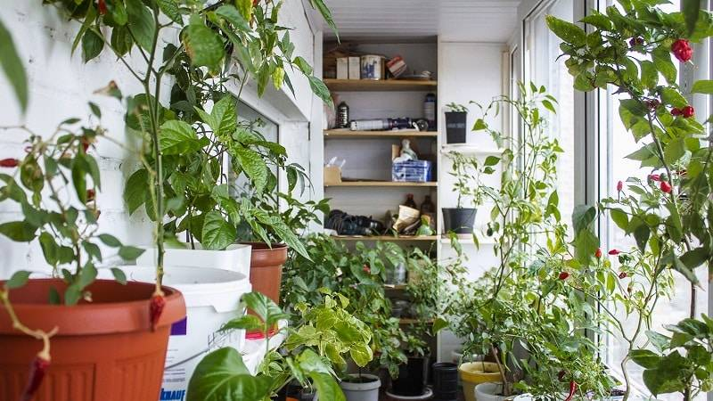 Перец на подоконнике - уход, выращивание, виды и сорта с фото