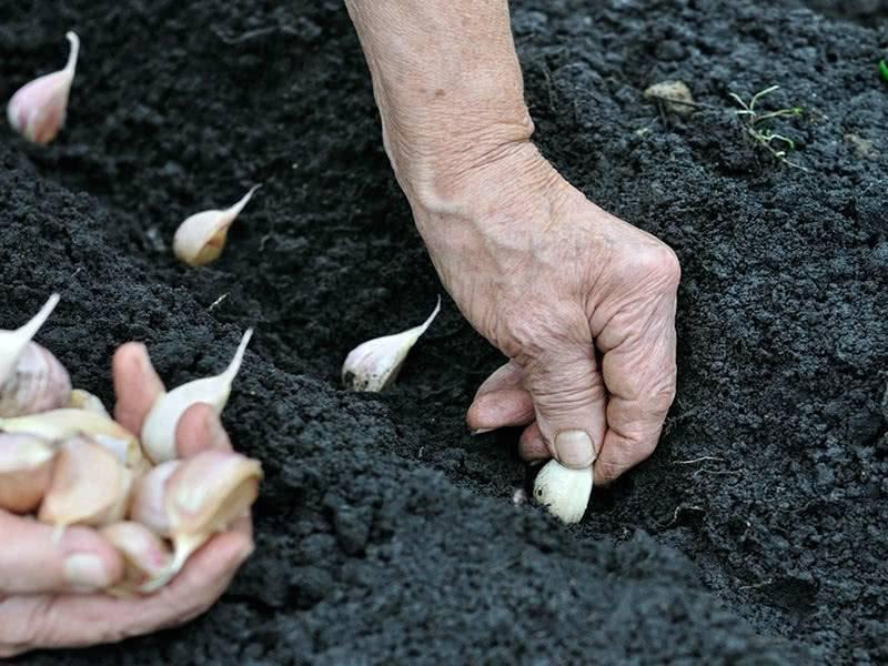 Чем подкормить чеснок весной посаженный под зиму - огород, сад, балкон - медиаплатформа миртесен