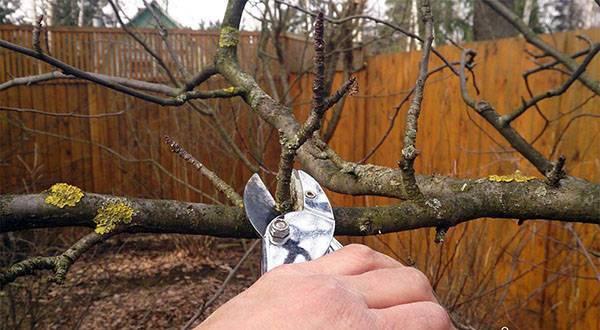 Осенняя обрезка абрикоса – как обрезать молодое и старое дерево