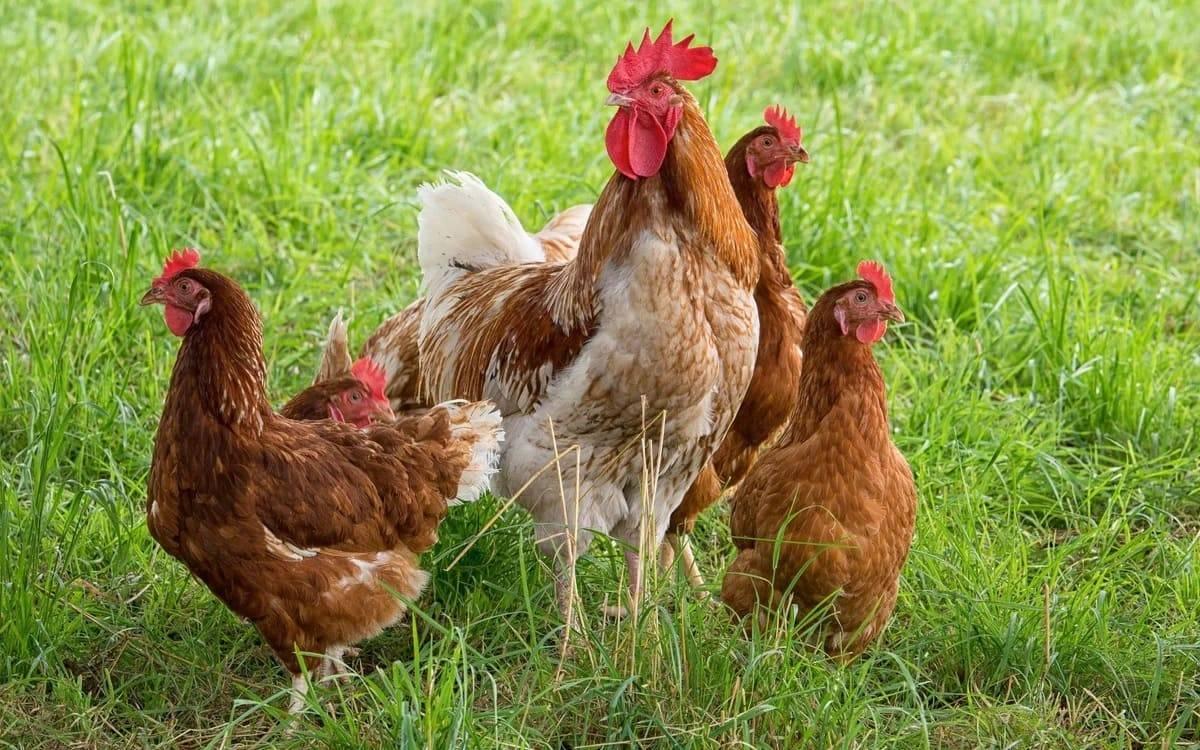 Может ли курица нести яйца без петуха: продуктивность, нужен ли несушкам самец