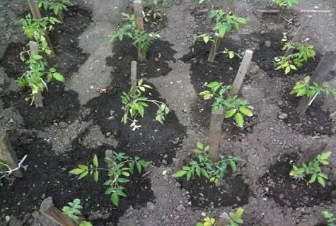 Нюансы замачивания семян томатов в перекиси водорода перед посадкой. советы по посеву