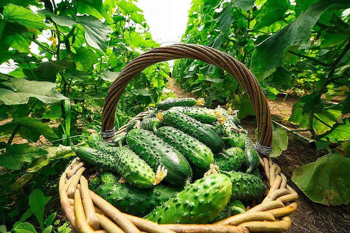 Грамотный полив огурцов при выращивании в открытом грунте