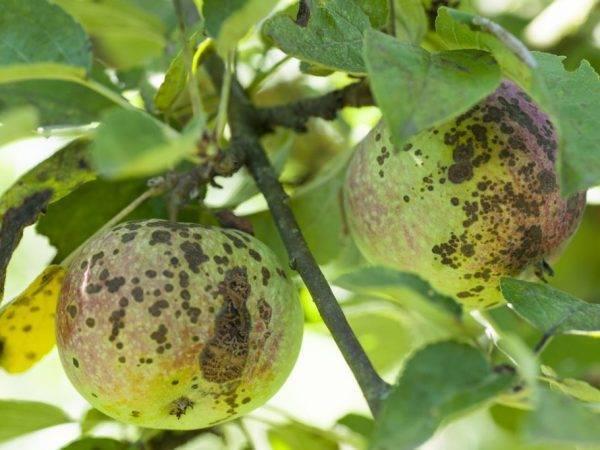 Как определить и вылечить паршу на яблоне