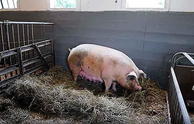 ᐉ как узнать что свинья скоро опоросится, свиноматка перед опоросом - zoomanji.ru