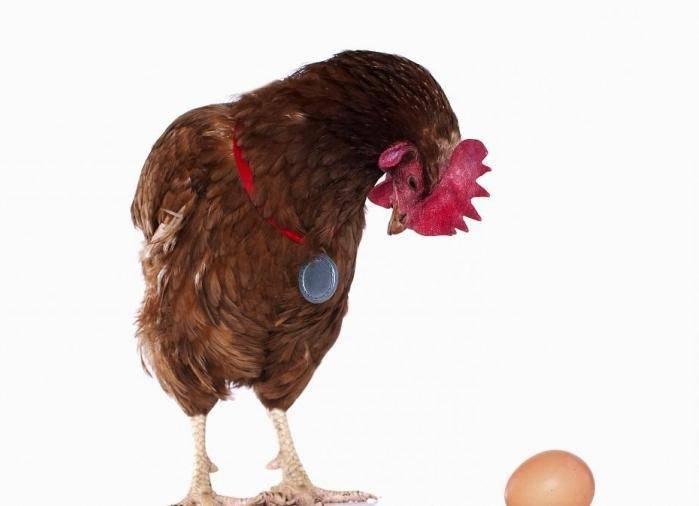 Причины снижения уровня яйценоскости у перепелов