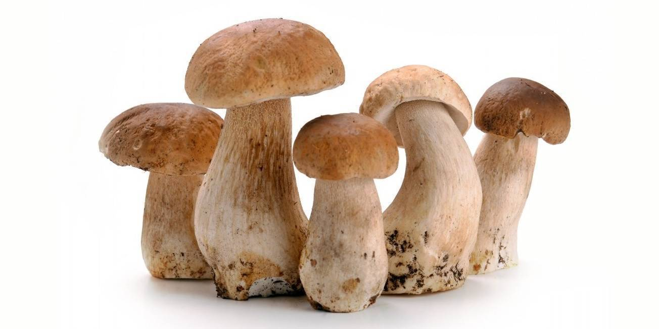 Белый гриб — где растут, описание, фото. ложный белый гриб.