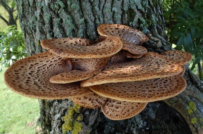 Гриб на дереве (50 фото): съедобные, какие паразиты, как называться, выращивать своими руками, можно есть, оранжевый, ореховый