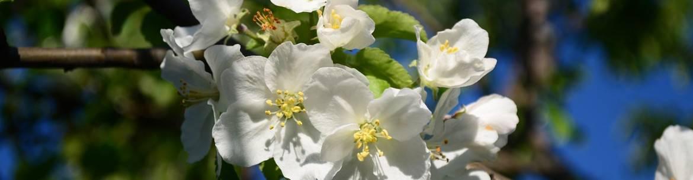 Подкормка яблонь весной, летом и осенью: какие удобрения применять