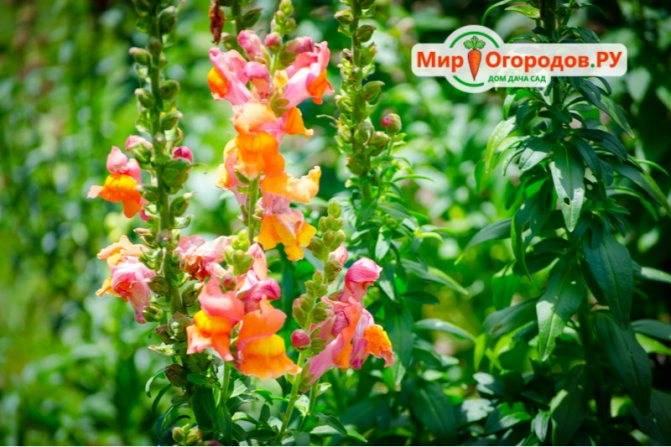 Многолетник или однолетник львиный зев: описание и фото цветка, выращивание из семян, посадка и уход за антирринумом