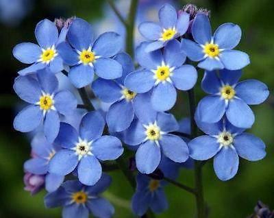 Цветок незабудка – особенности посадки, ухода и пересадки, использование в ландшафтном дизайне