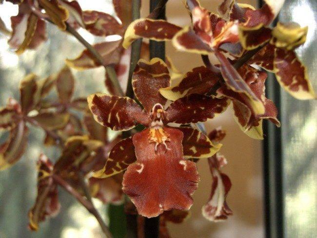 Камбрия: выращивание в домашних условиях