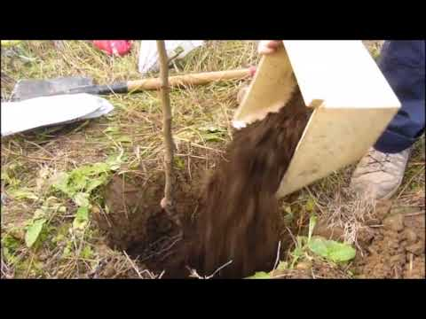 Как посадить грушу | пошаговая инструкция по посадке саженцев весной или осенью