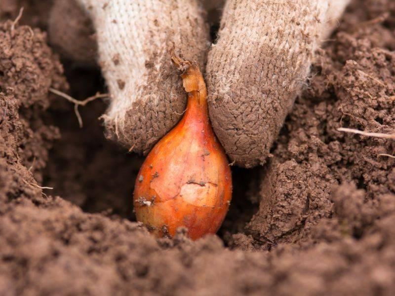 Лук многолетний: выращивание и уход, лучшие сорта с фото и описанием