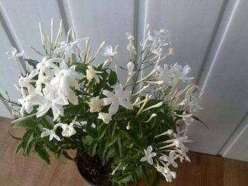 Комнатный жасмин — неземное совершенство