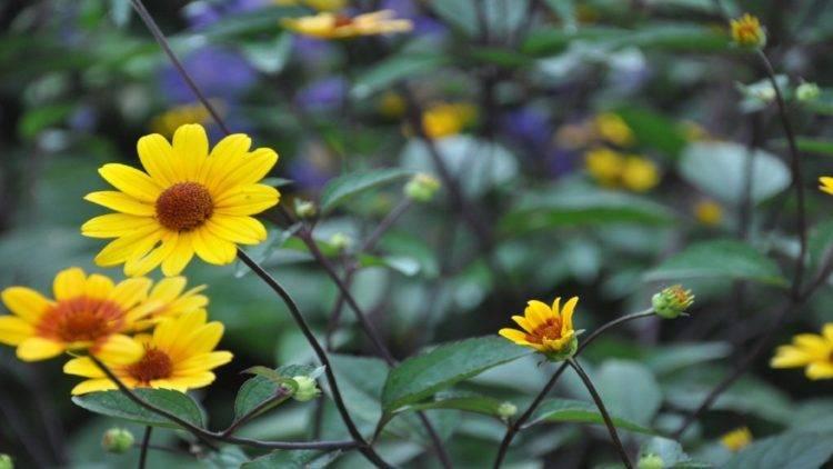 """Цветок """"гелиопсис"""": описание, виды, фото, посадка и уход"""