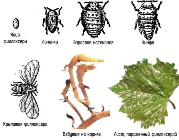 Вредители винограда, филлоксера - справочник по защите растений