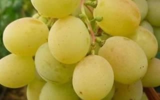 Виноград алекса ранняя: описание сорта