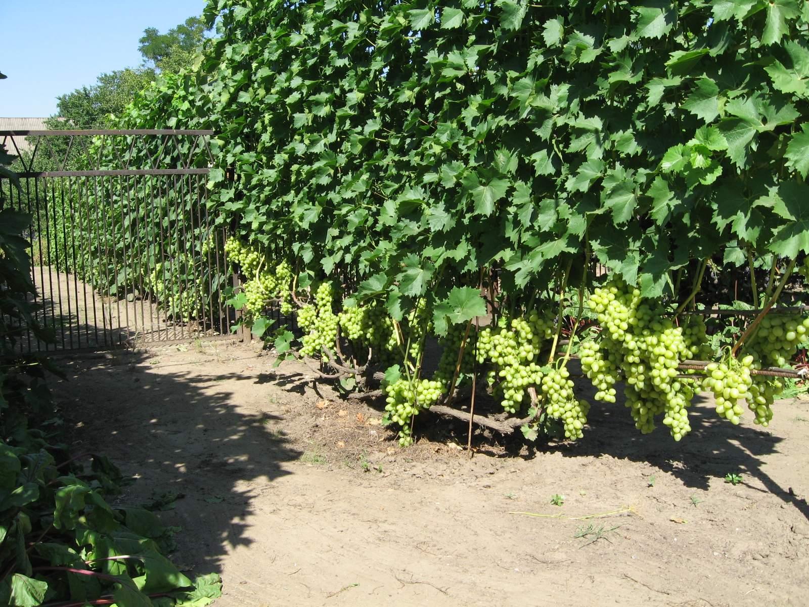Как вырастить виноград в сибири и какие сорта для этого подойдут