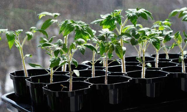Когда садить рассаду помидоров в сибири