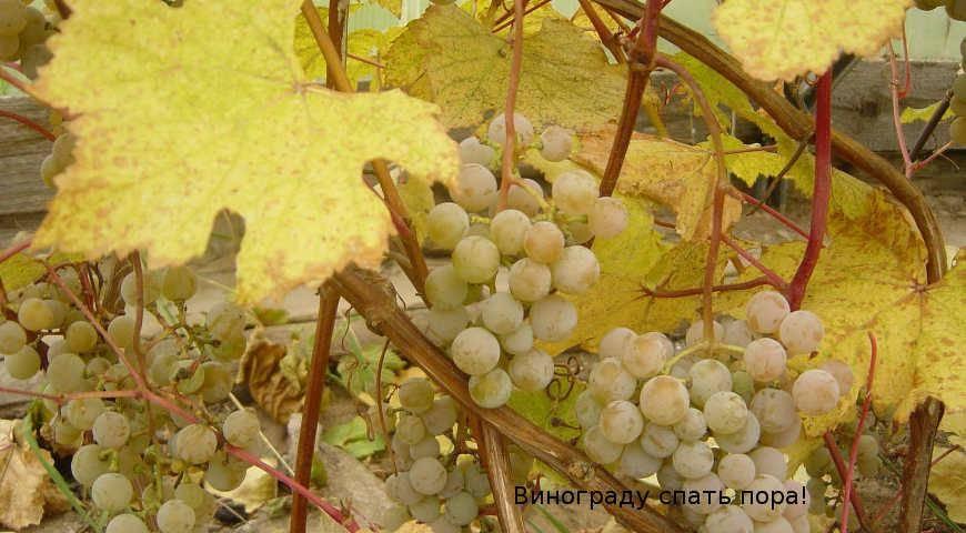Обрезка винограда осенью для начинающих: посадка и уход осенью