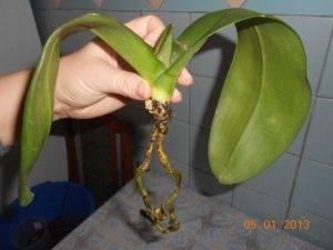 Как отрастить корни у орхидеи фаленопсис: реанимация растения без корней