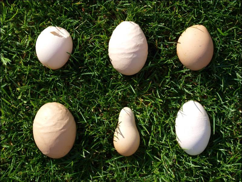 Тонкая и слабая скорлупа у куриных яиц: что делать