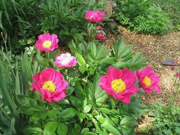 Пионы: посадка и уход в открытом грунте, как и когда сажать – весной или осенью, выращивание летом в тени или на солнце (фото и видео)