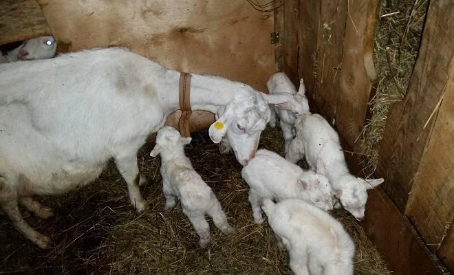 Зааненские козы: лучшая молочная порода и правила ее содержания (105 фото)