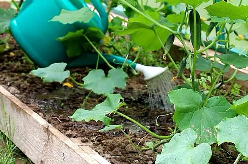 Как правильно поливать огурцы на даче - советы огородников