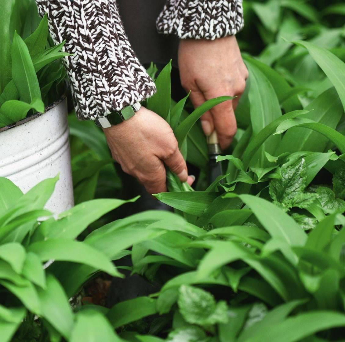 Как выращивать черемшу в домашних условиях?