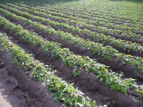 Выращивание картофеля: технология и сроки посадки, видео и фото