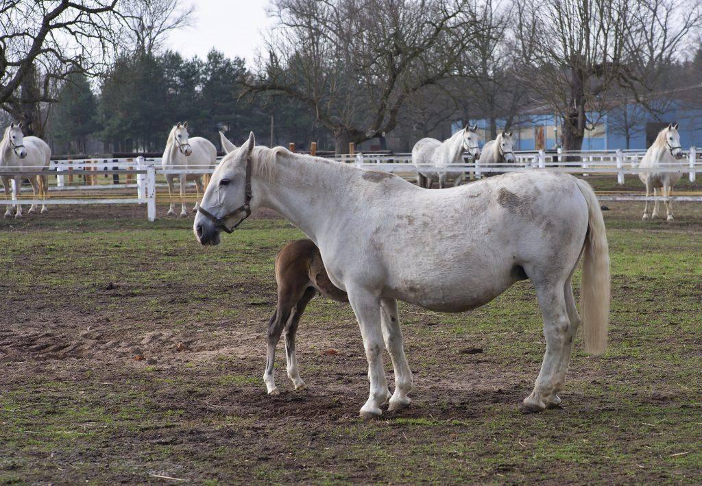 Марвари лошадь. образ жизни и среда обитания лошади марвари