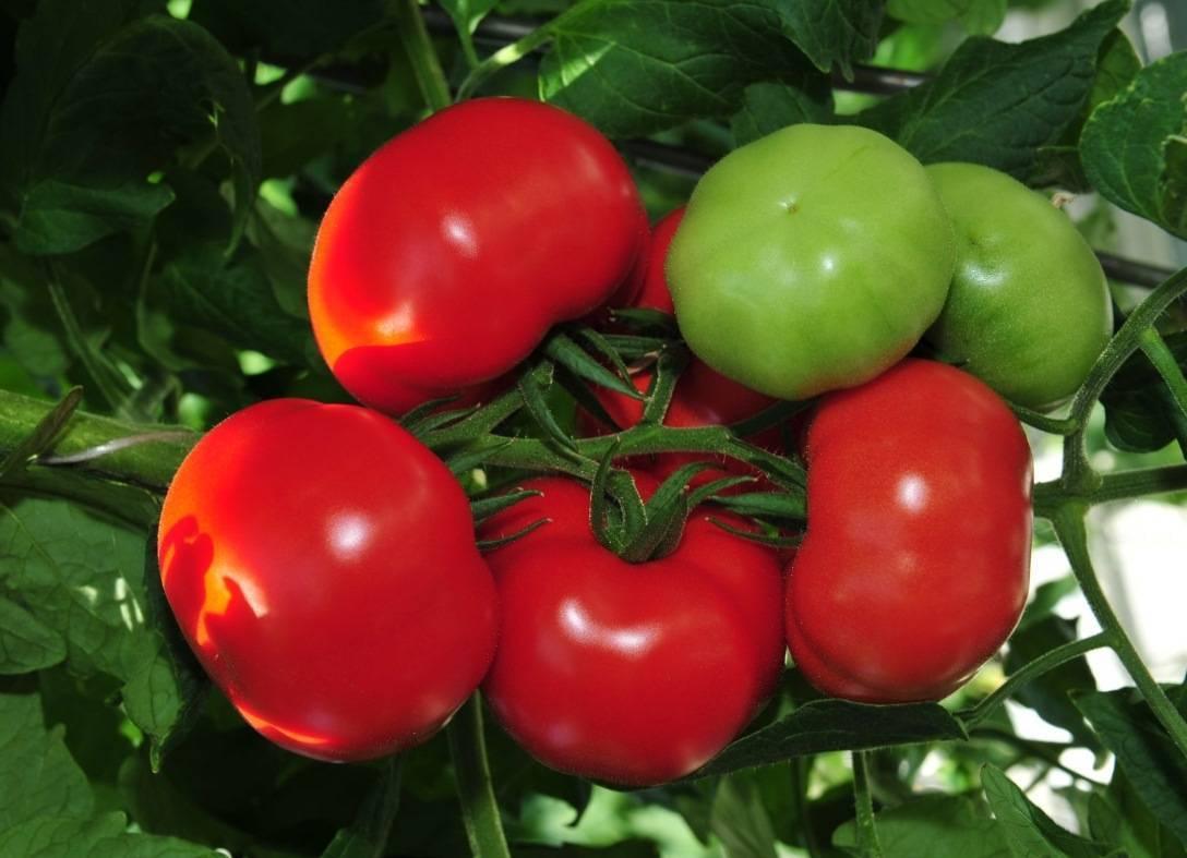 Классический сорт не требующий много времени и сил — томат митридат f1: описание и отзывы