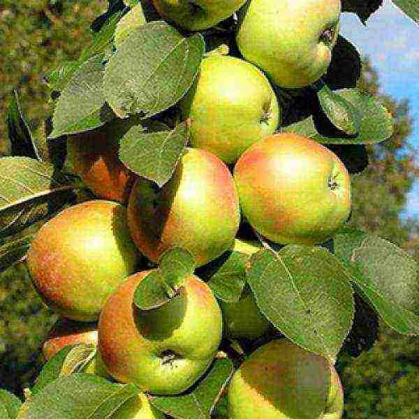 Колоновидная яблоня — декоративная культура с обильным плодоношением