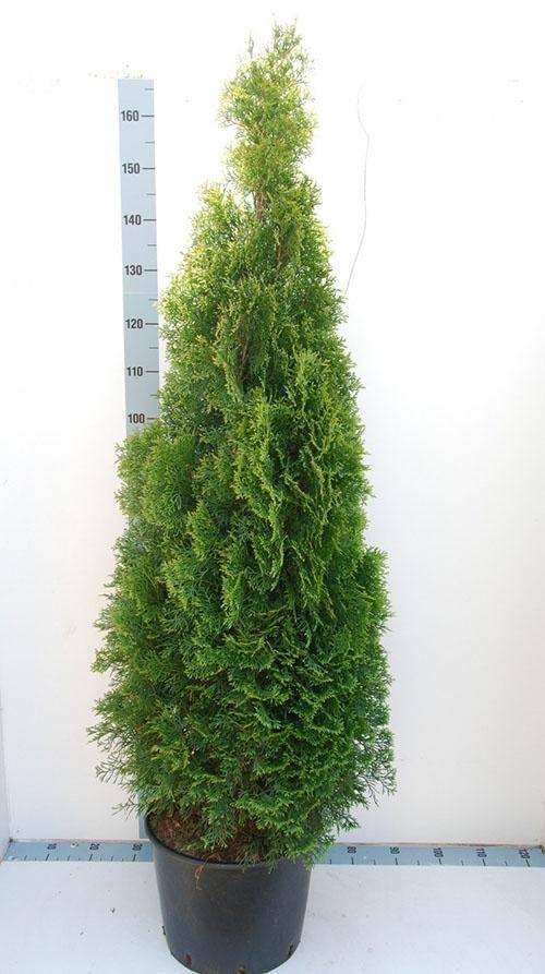 Туя (хвойное дерево)