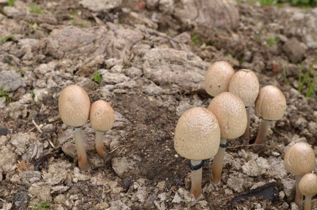 Что собой представляет винный гриб и как его вырастить в домашних условиях