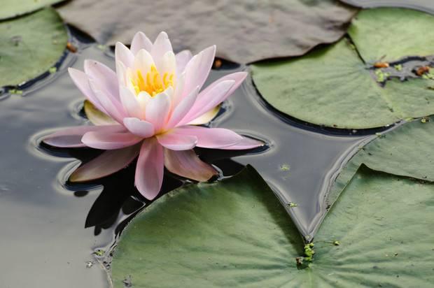 Как выбрать водные растения, способные украсить и очистить пруд на даче