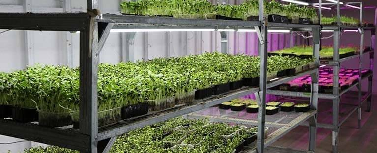 Зелень на подоконнике, как вырастить лук, чеснок, укроп?