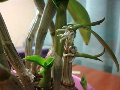 Как пересадить детку орхидеи в домашних условиях правильно с учётом того, где она дала отростки: на цветоносе, возле корней на стволе, пошаговое руководство и фото selo.guru — интернет портал о сельском хозяйстве