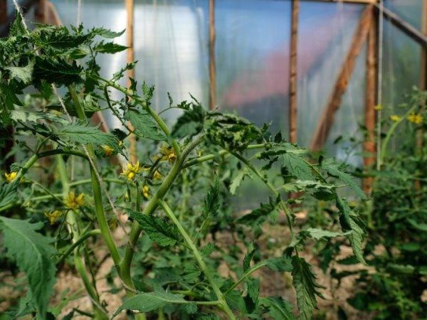 Цветение томатов и завязь, проблемы и их решение