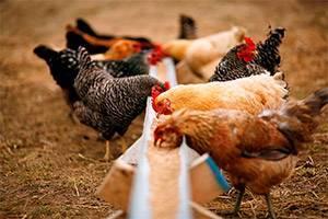 Как кормить кур несушек зимой