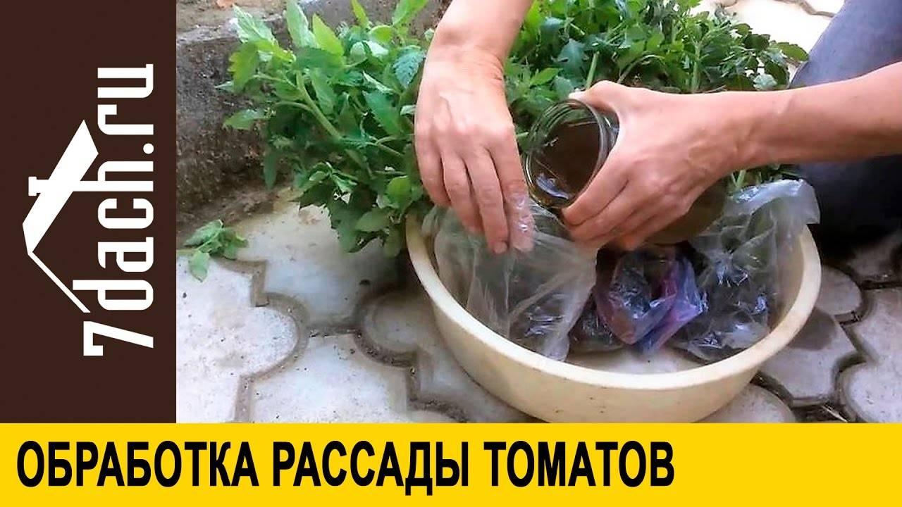 Можно ли поливать рассаду помидоров марганцовкой
